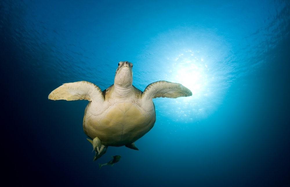 A piece of fine art art photography titled Green Turtle by Dray van Beeck