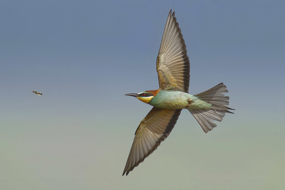 Bee Eater!!!