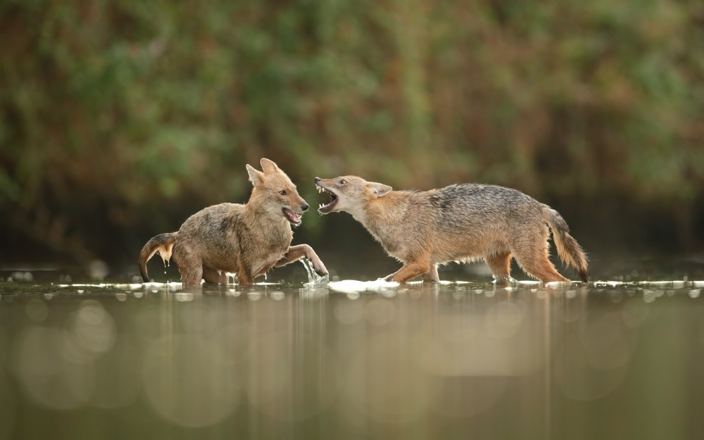 A piece of fine art art photography titled Fight - Jackals by Assaf Gavra