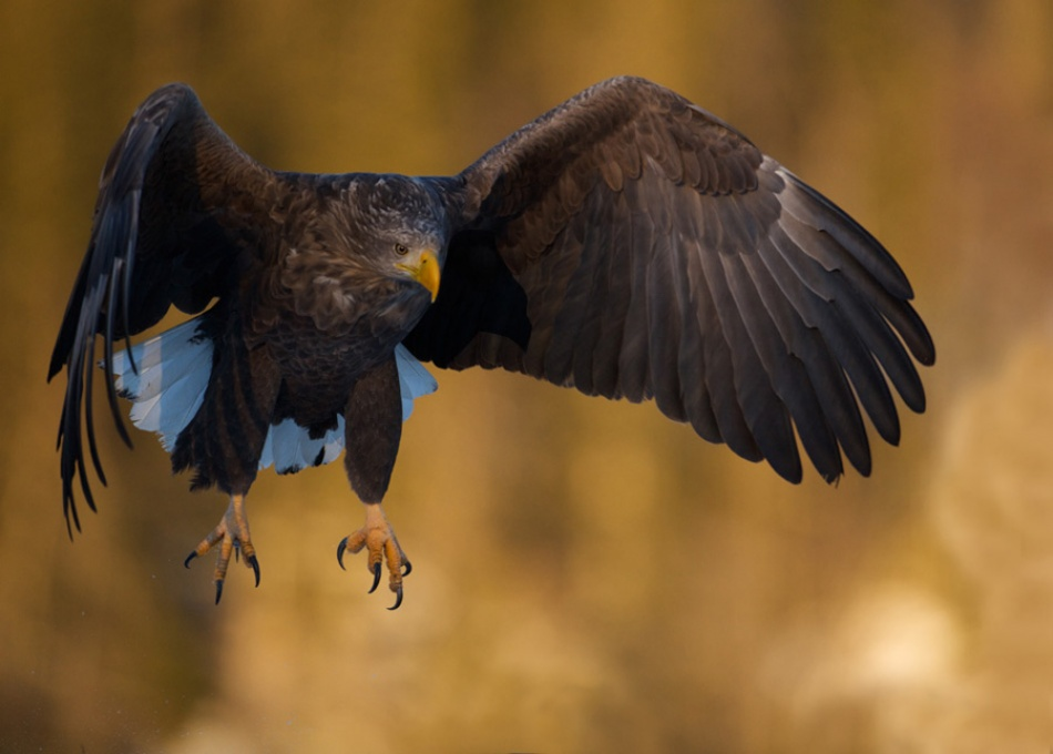 A piece of fine art art photography titled Norwegian Sea Eagle by Tommy Solberg