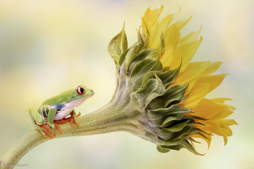 View this piece of fine art photography titled Red Eyed Tree Frog on a Sunflower by Ridho Arifuddin