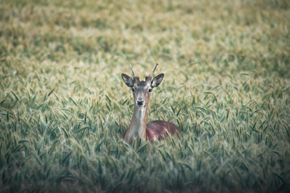 A piece of fine art art photography titled Deer In Field by Christian Lindsten
