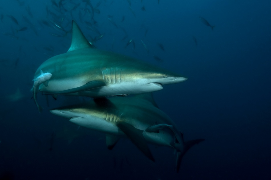 Shark Twist