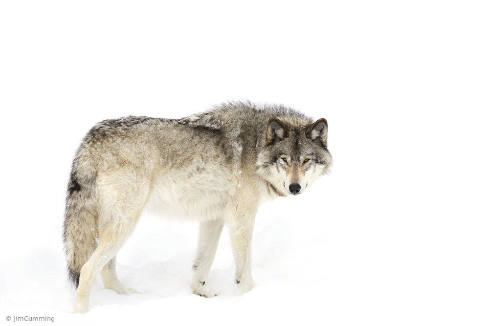 Canadian Timber wolf walking through the snow