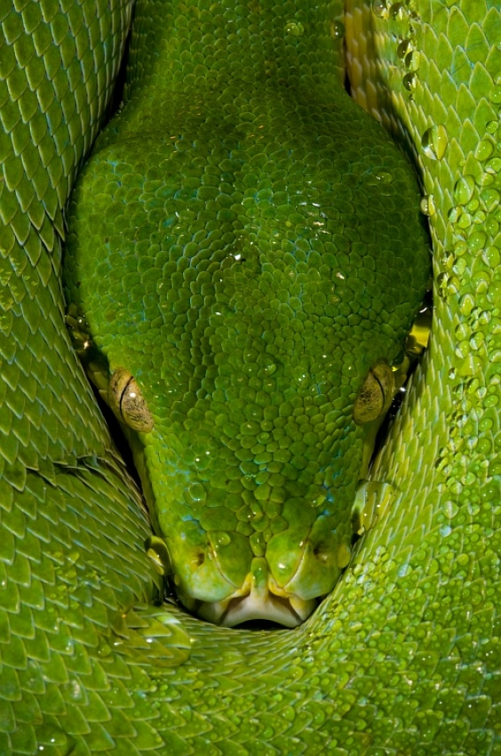 A piece of fine art art photography titled Morelia Viridis - Green Tree Python by Thor Hakonsen