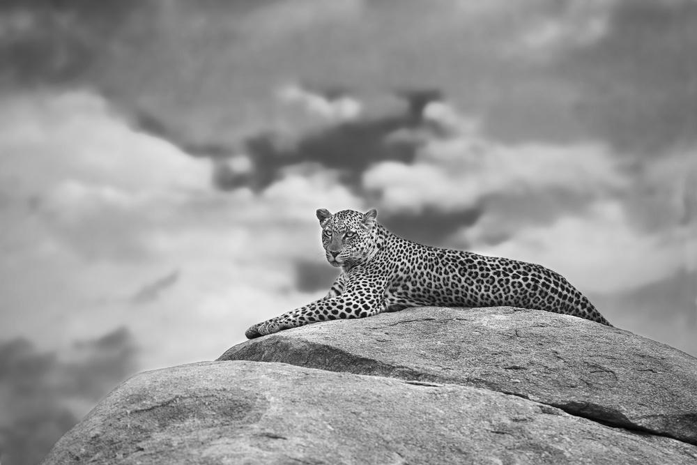 Leopard on a Kopje