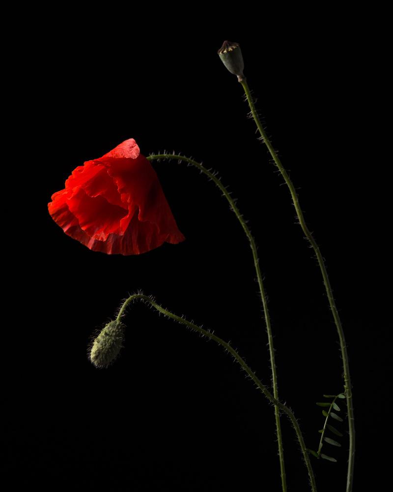 A piece of fine art art photography titled Poppies by Aneta Mrożek