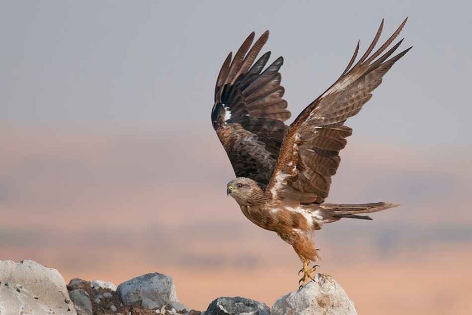 A piece of fine art art photography titled Black Kite by nissim