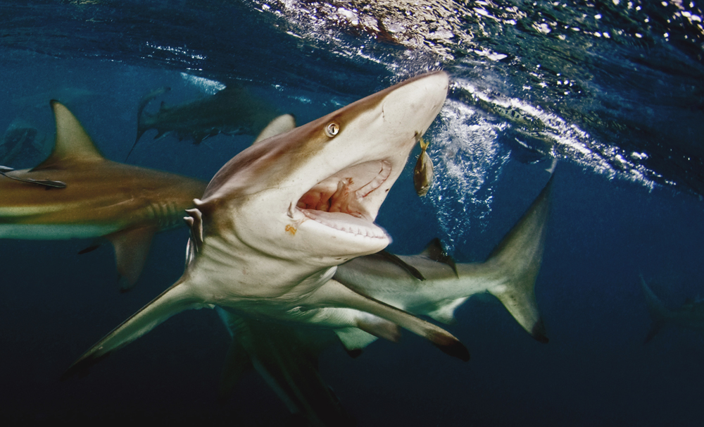 A piece of fine art art photography titled Feeding Oceanic Blacktip Shark by Dray van Beeck