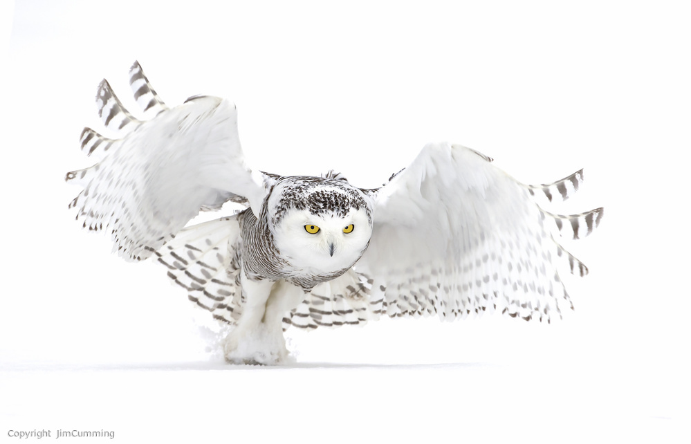 Snowy Owl - Jazz Wings