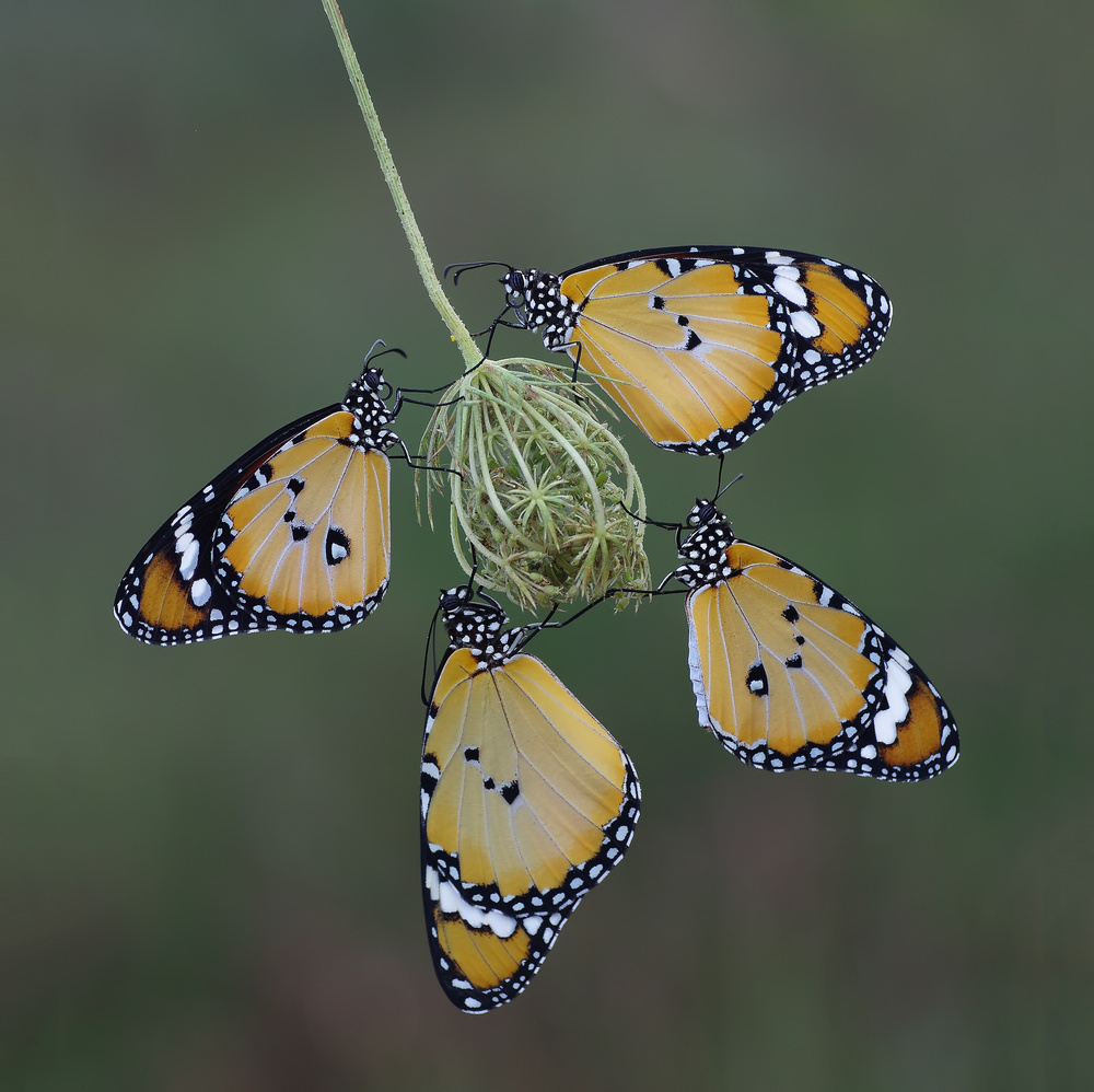A piece of fine art art photography titled Four of a Kind by Savas Sener