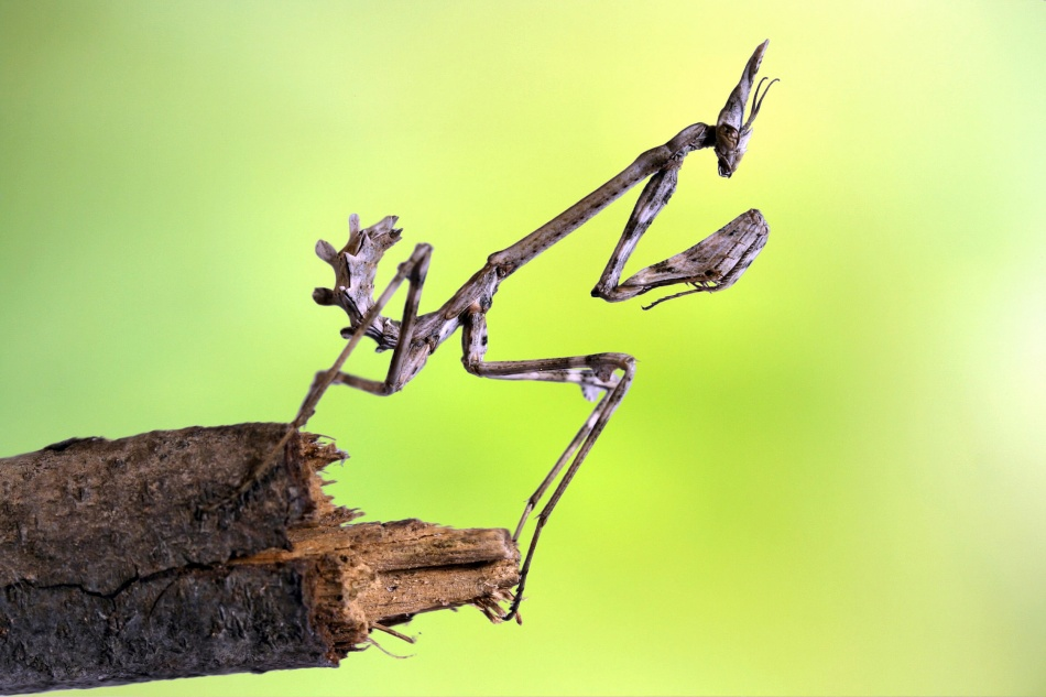 A piece of fine art art photography titled Empusa Pennata-larva by Jimmy Hoffman