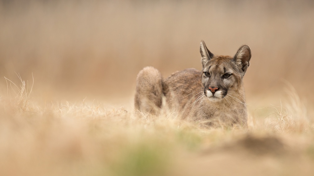 A piece of fine art art photography titled Puma Concolor by Milan Zygmunt