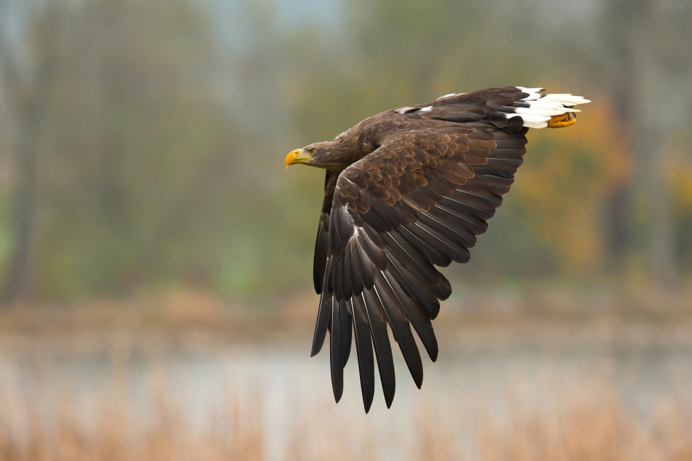 A piece of fine art art photography titled White-tailed Eagle by Milan Zygmunt