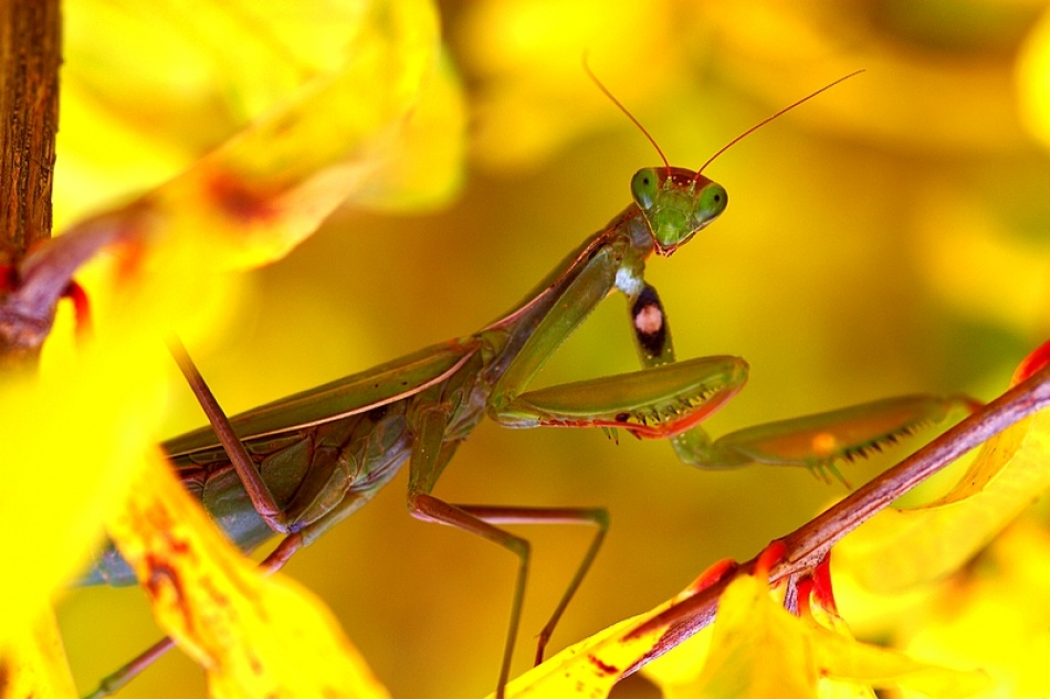 A piece of fine art art photography titled Praying Mantis Hiding In a Grenad Tree by Louis Despres