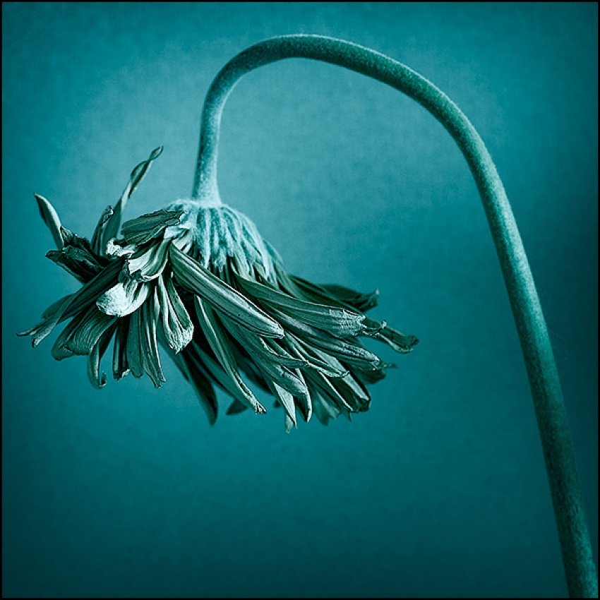 A piece of fine art art photography titled Flower by John Andreas Olsson
