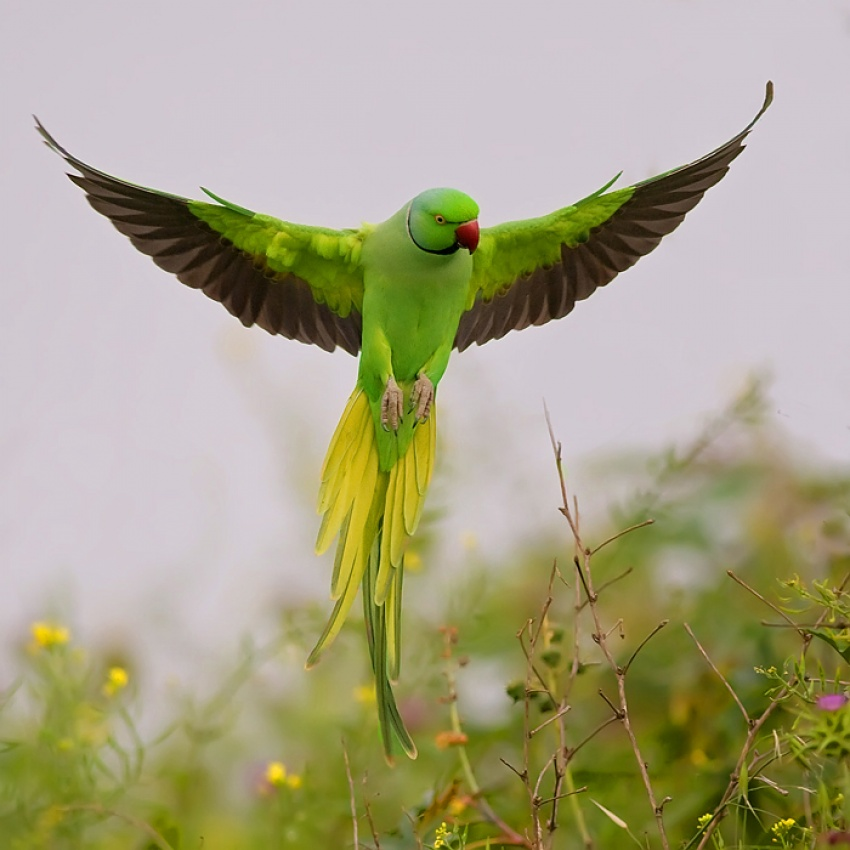 A piece of fine art art photography titled Rose Ringed Parakeet by nissim