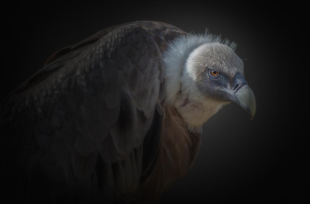 A piece of fine art art photography titled Vulture by KaMerA