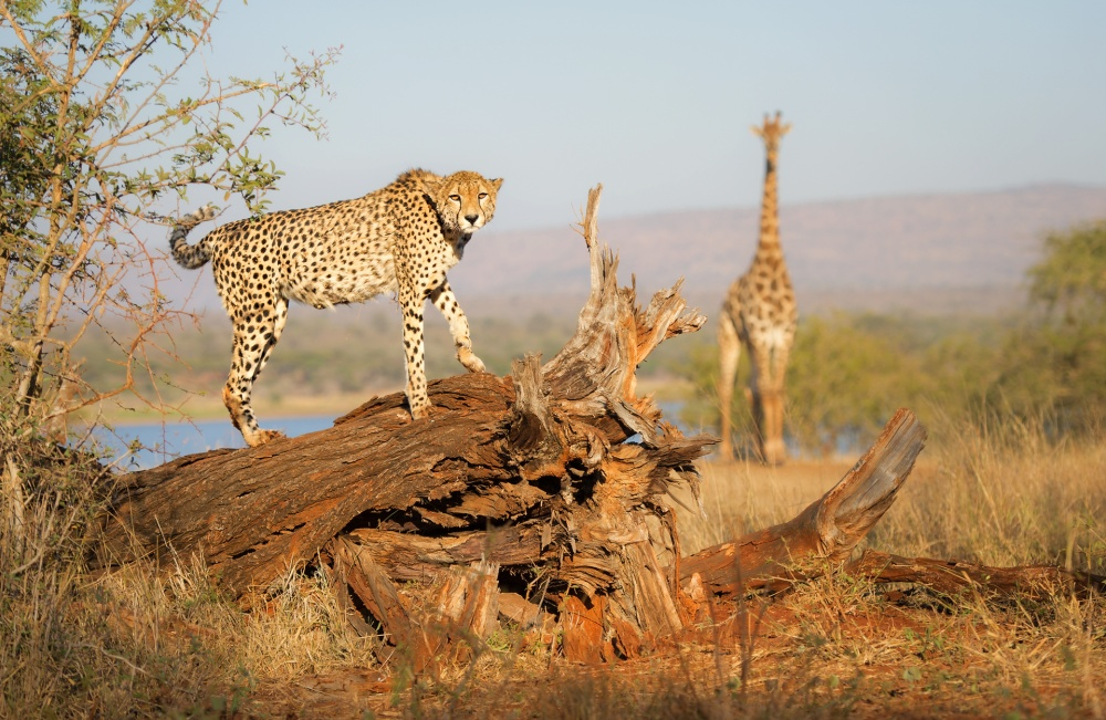 A piece of fine art art photography titled Stumped by a Cheetah by Morkel Erasmus