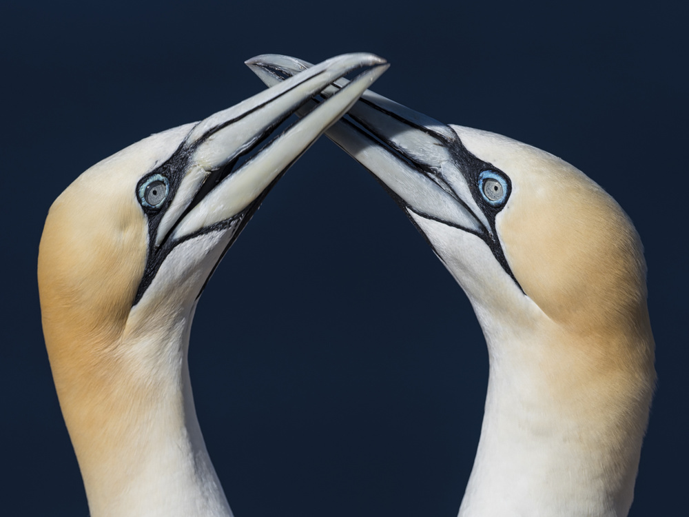 Gannet Smooching