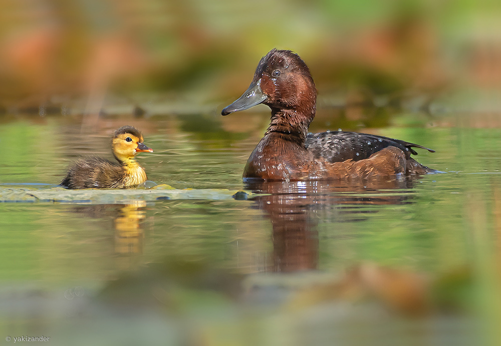 Ferruginous Duck.    Very rare and in danger of extinction.