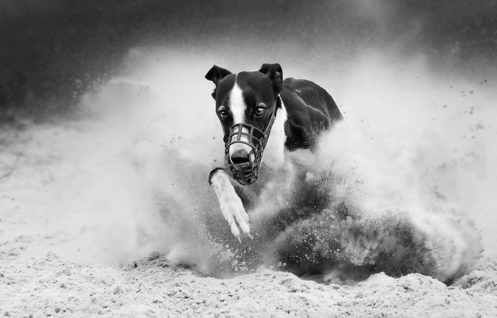 A piece of fine art art photography titled Training Greyhound Racing by Muriel Vekemans
