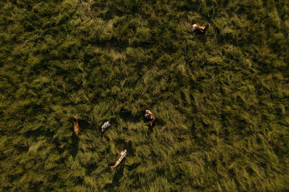 Cows from above