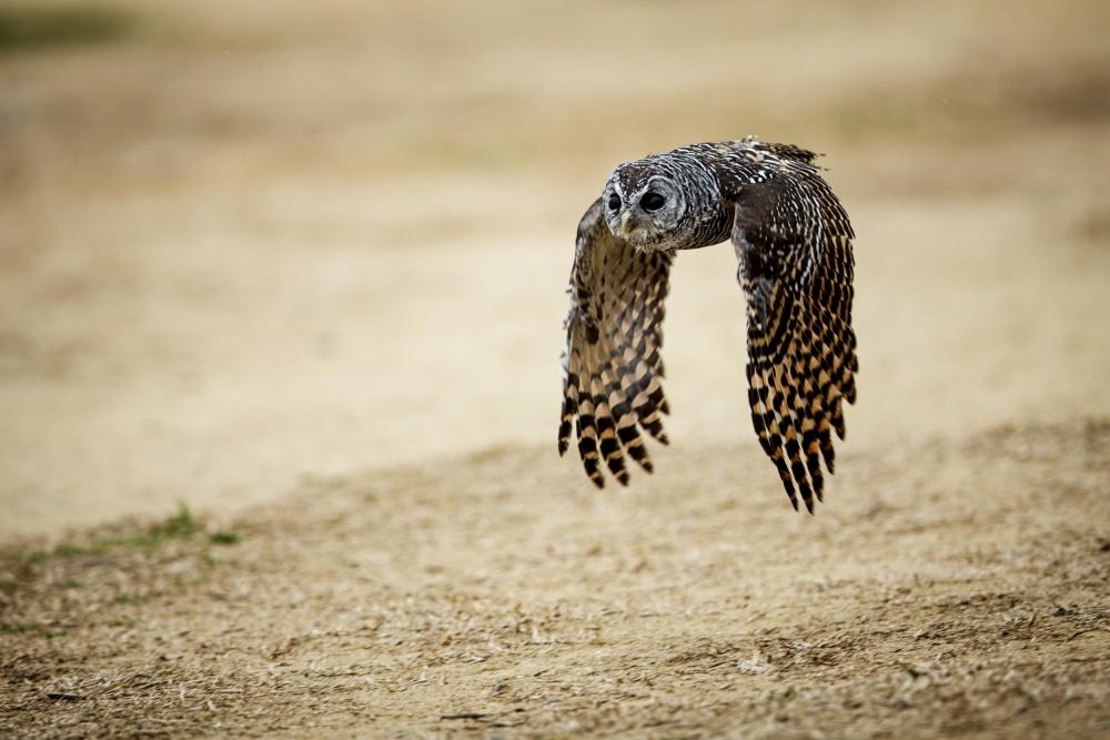 BUHO EN VUELO - OWL FLYING