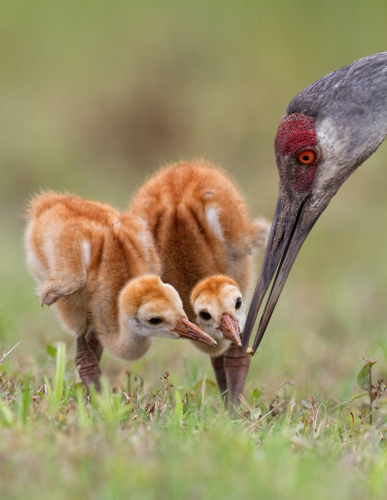 A piece of fine art art photography titled Sandhill Crane With Chicks by Alfred Forns