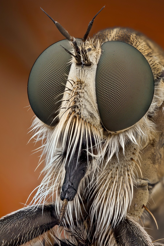 A piece of fine art art photography titled Robberfly Portrait by Javier Torrent