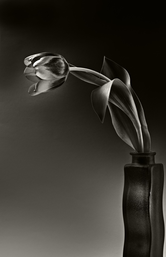 A piece of fine art art photography titled Tulip Bicolor by bwarts