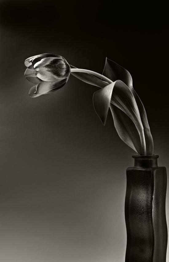 Tulip Bicolor