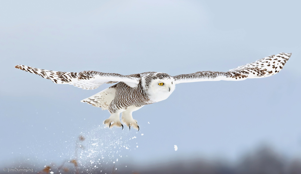 Snowy owl blast-off