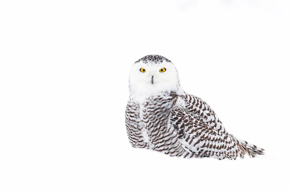 A piece of fine art art photography titled Snowy Owl In Winter Snow by Jim Cumming
