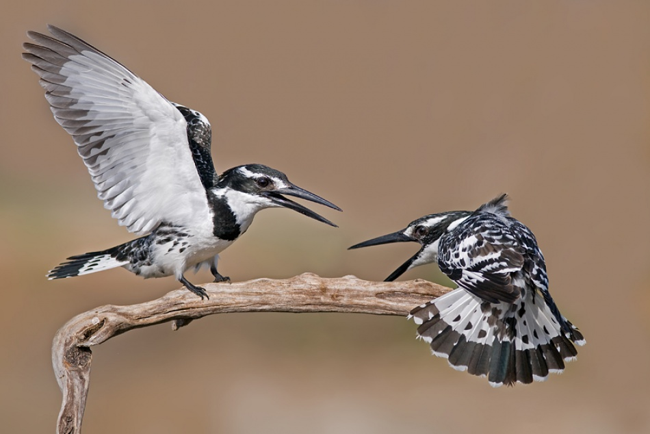 A piece of fine art art photography titled Pied Kingfisher by nissim