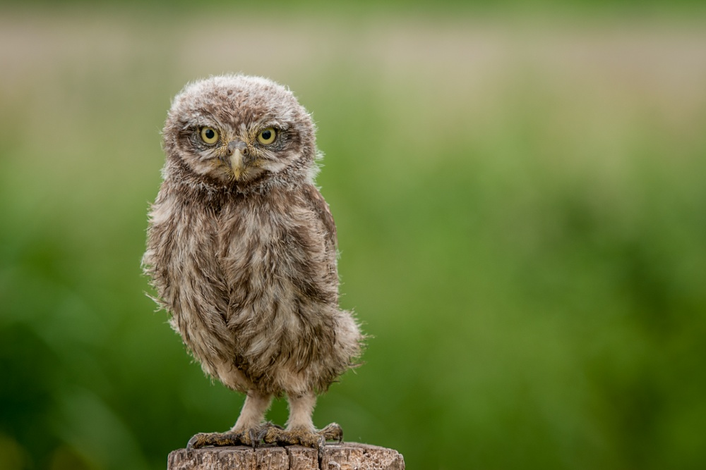 A piece of fine art art photography titled Little Owl by Jan Linskens