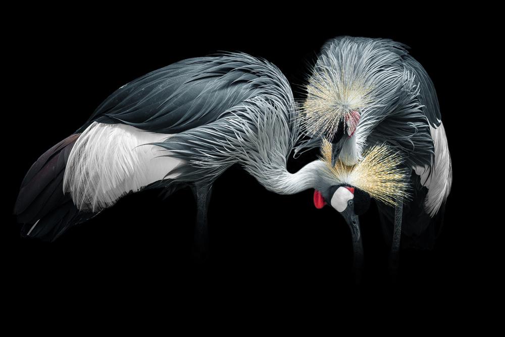 Grey Crowned Crane (Couple)