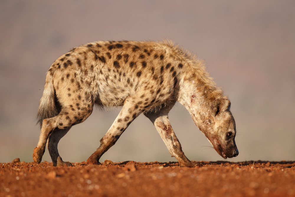 A piece of fine art art photography titled The Good, the Bad and the Hyena by Andreas Hemb