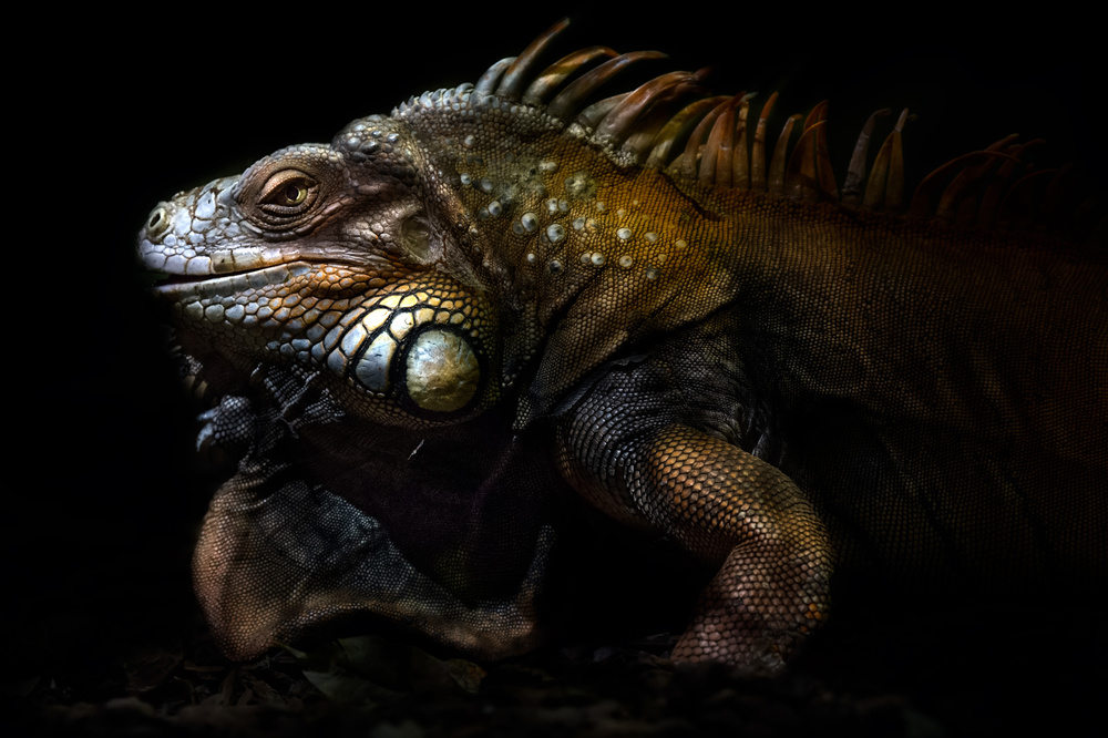 A piece of fine art art photography titled Iguana Portrait: Lost In the Evolution by Santiago Pascual Buye