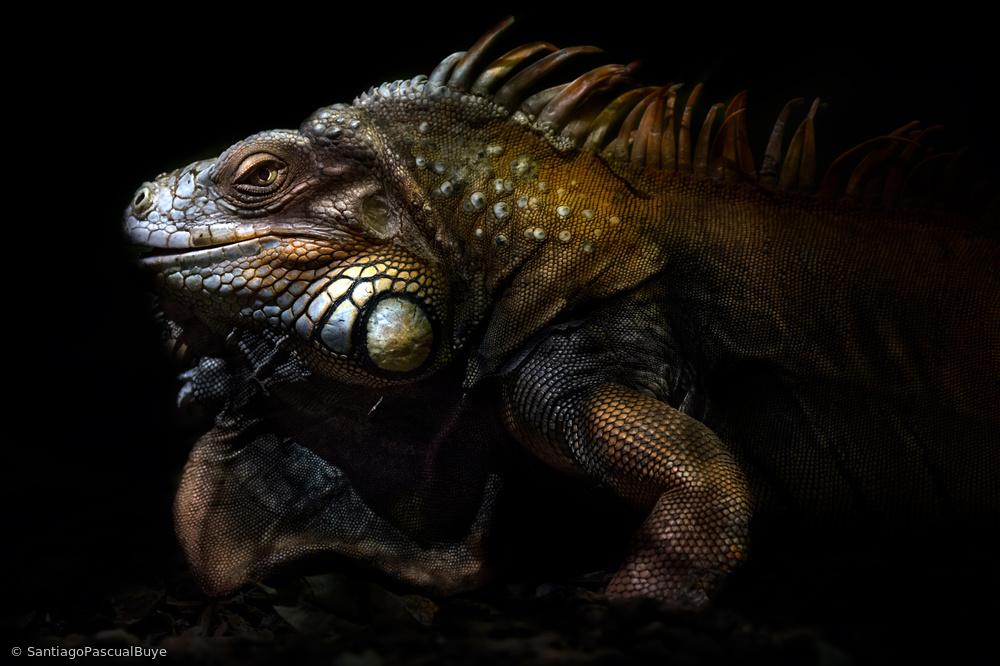 Iguana portrait: Lost in the evolution