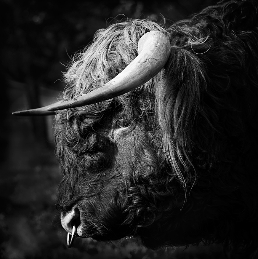 A piece of fine art art photography titled Highland Bull by Andrew Stewart