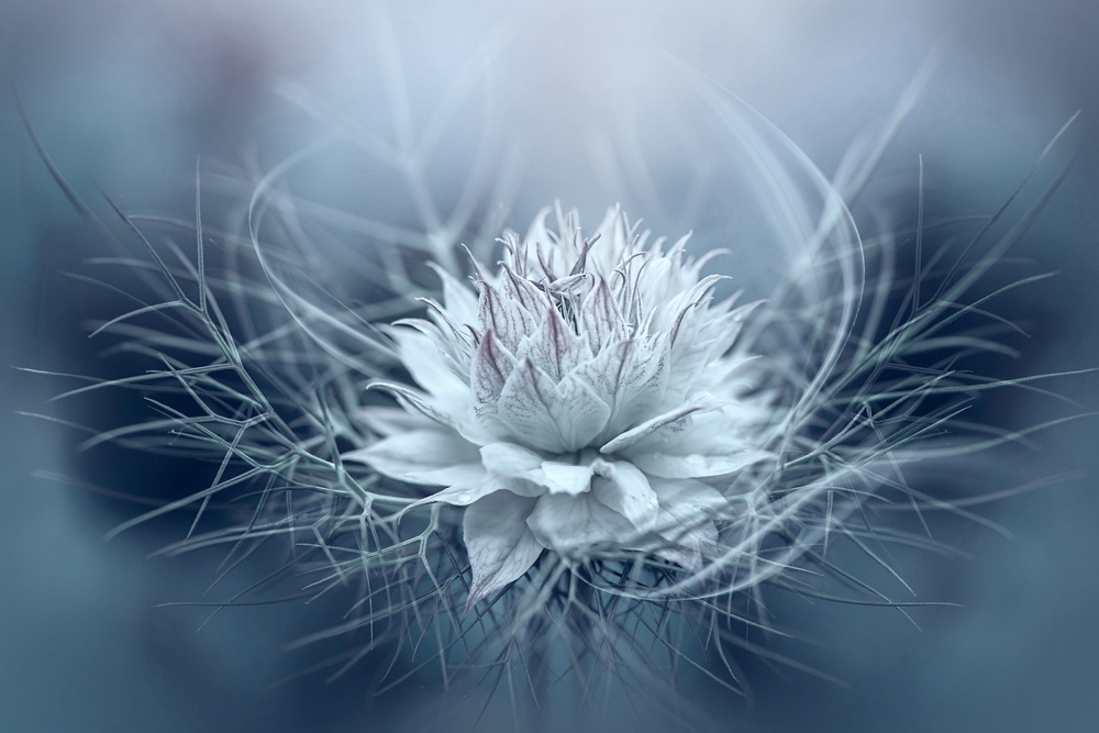 A piece of fine art art photography titled Love-in-a-mist by Jacky Parker