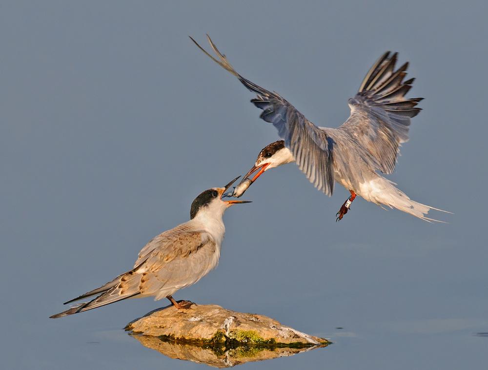 A piece of fine art art photography titled Common Tern by yaki zander