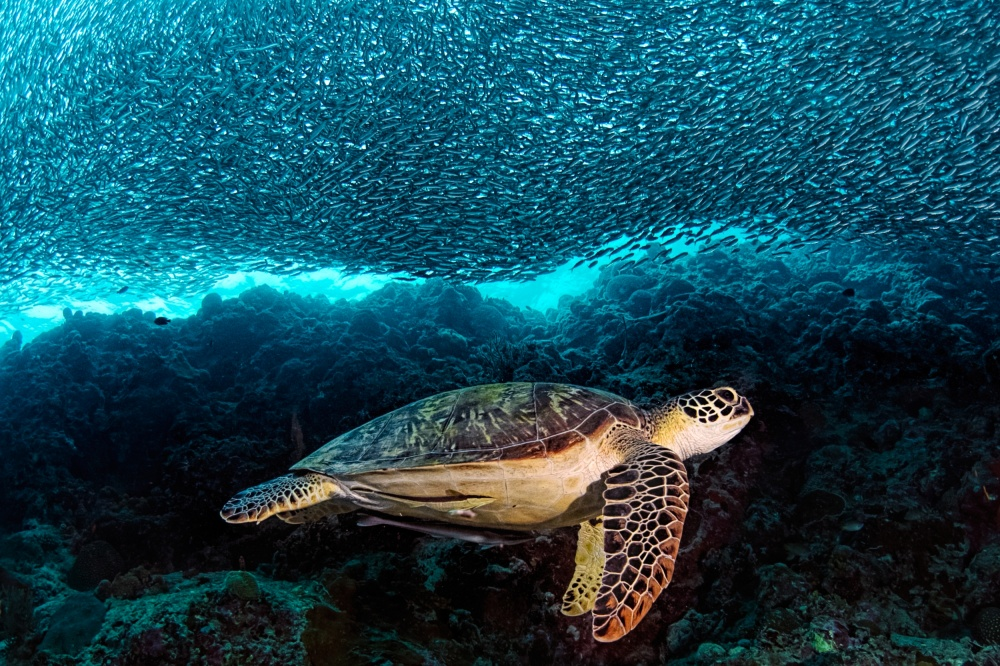 A piece of fine art art photography titled Turtle and Sardines by Henry Jager