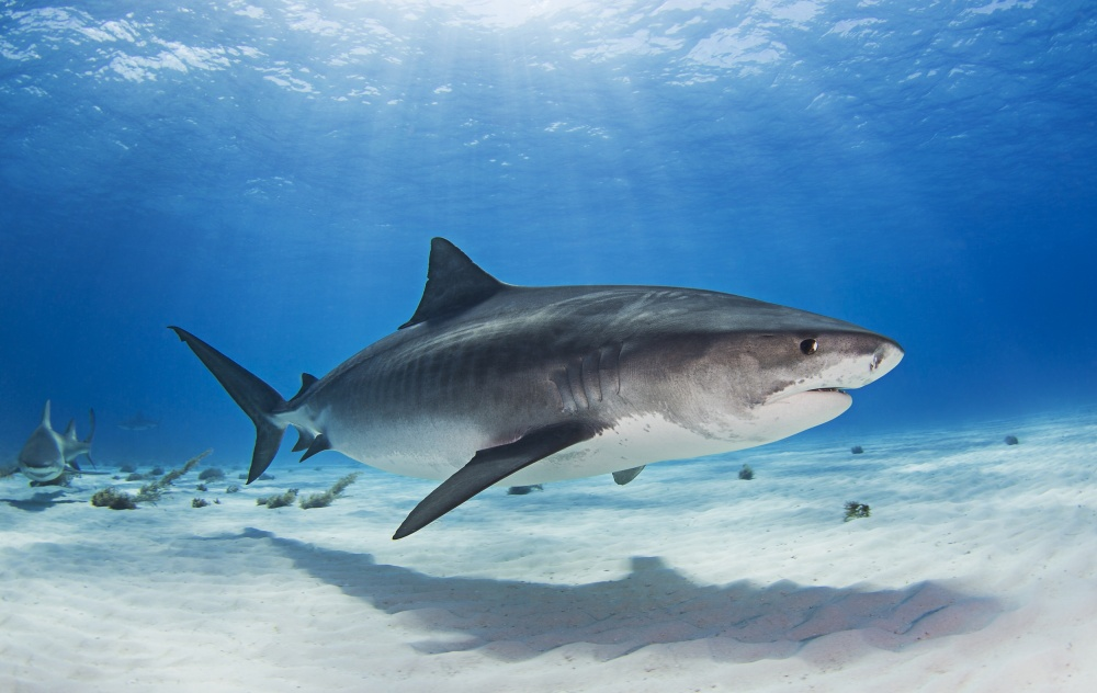 A piece of fine art art photography titled Notch - the Tiger Shark by Ken Kiefer