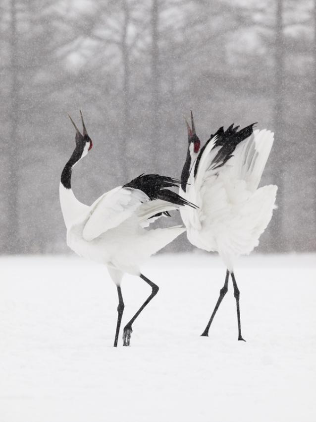 A piece of fine art art photography titled Japanese Cranes by Dennis Binda