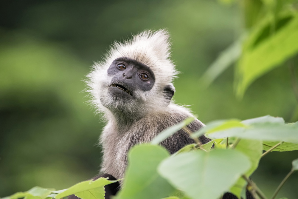 A piece of fine art art photography titled White-headed Langur by  Hao Jiang