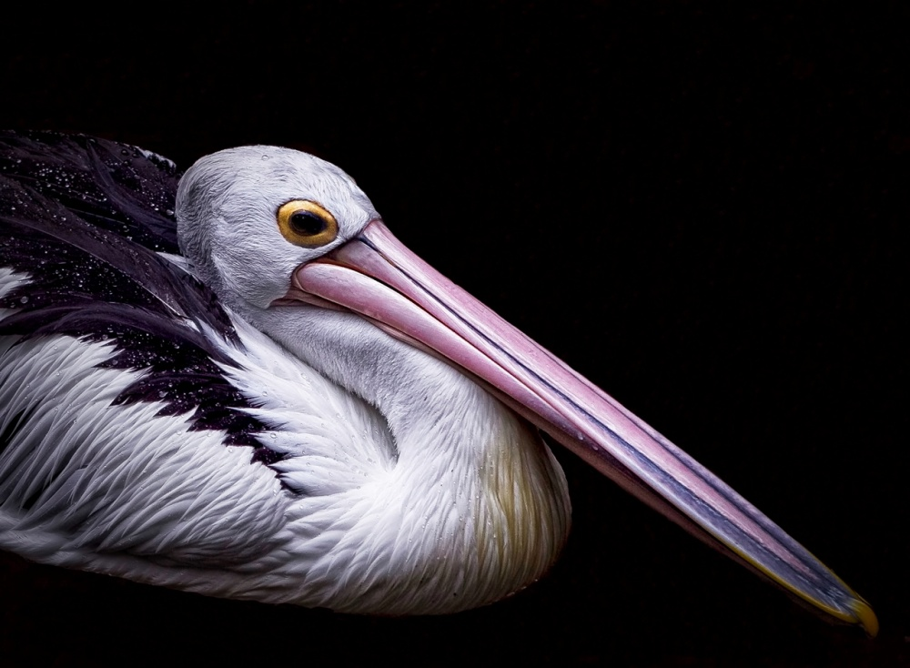 A piece of fine art art photography titled The Pelican by Vincent Sinaga