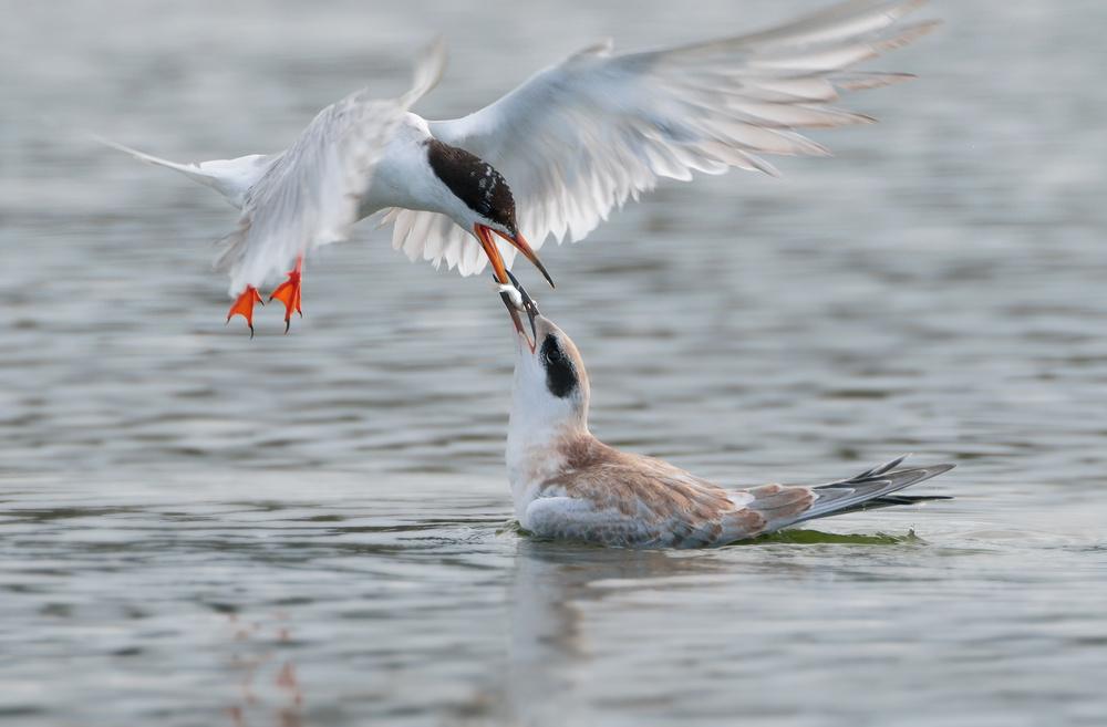 terns food exchange