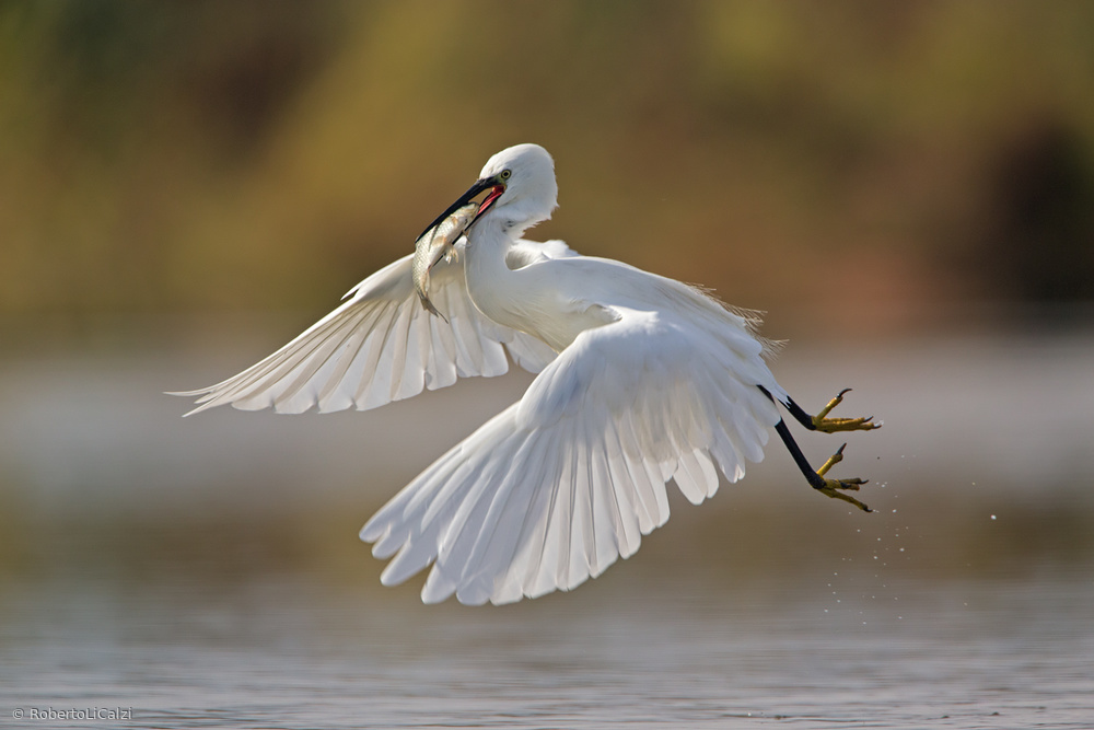 Egret with big fish